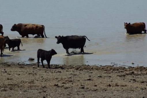 A herd of cattle standing on top of a sandy beachDescription automatically generated